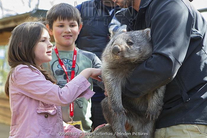 Common Wombat (Vombatus ursinus) orphan met by children, Bonorong Wildlife Sanctuary, Tasmania, Australia