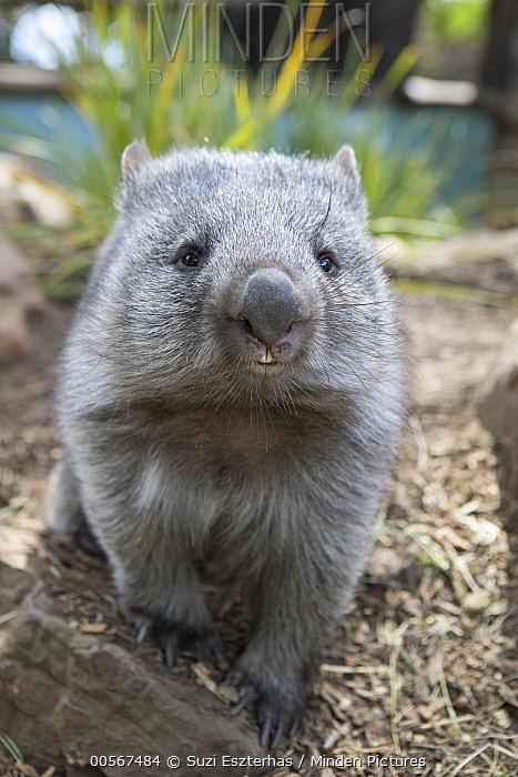 Common Wombat (Vombatus ursinus) orphan, Bonorong Wildlife Sanctuary, Tasmania, Australia