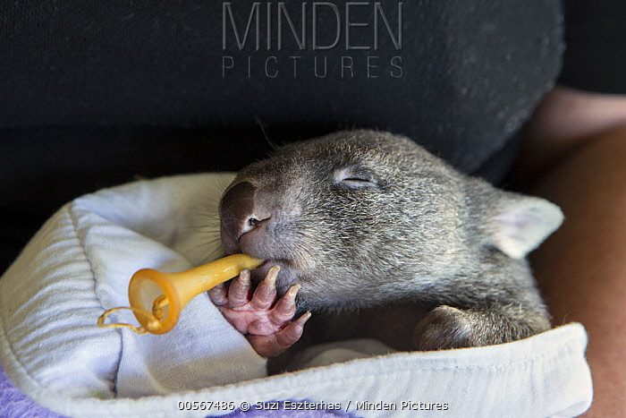 Common Wombat (Vombatus ursinus) five month old orphaned joey with pacifier in mouth, Bonorong Wildlife Sanctuary, Tasmania, Australia