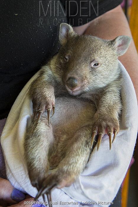 Common Wombat (Vombatus ursinus) six month old orphaned joey, Bonorong Wildlife Sanctuary, Tasmania, Australia