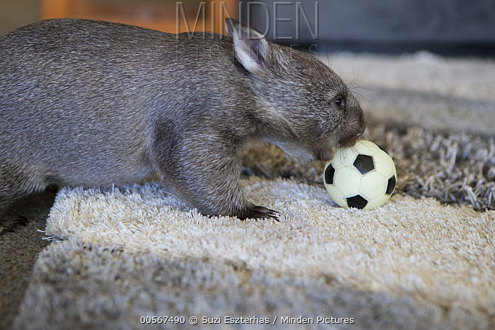 Common Wombat (Vombatus ursinus) seven month old orphaned joey playing with ball in foster home, Bonorong Wildlife Sanctuary, Tasmania, Australia