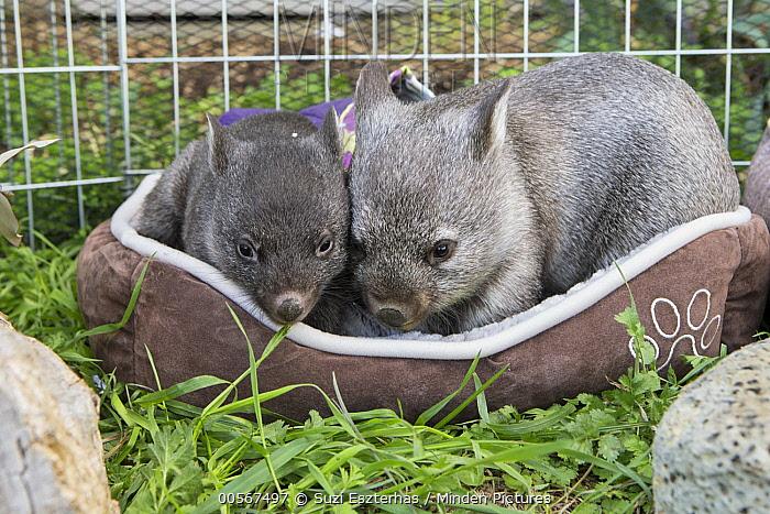 Common Wombat (Vombatus ursinus) six month old orphaned joeys, Bonorong Wildlife Sanctuary, Tasmania, Australia