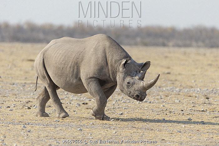 Black Rhinoceros (Diceros bicornis), Etosha National Park, Namibia