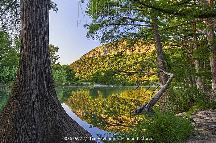 Bald Cypress (Taxodium distichum) trees along river, Frio River, Old Baldy Mountain, Garner State Park, Texas