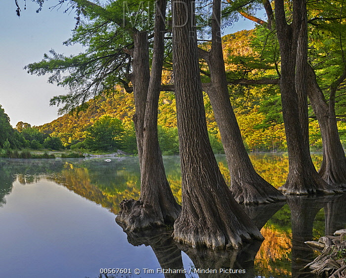 Bald Cypress (Taxodium distichum) trees in river, Frio River, Old Baldy Mountain, Garner State Park, Texas
