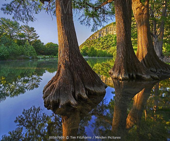 Bald Cypress (Taxodium distichum) trees in river, Frio River, Garner State Park, Texas