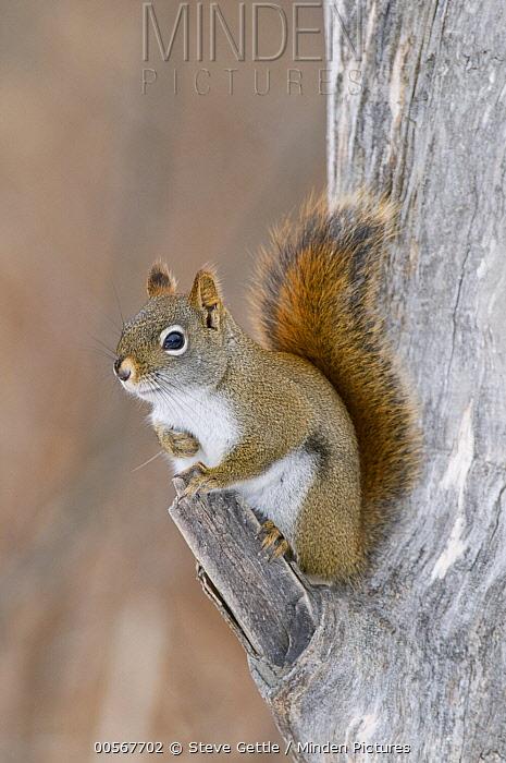 Red Squirrel (Tamiasciurus hudsonicus), Kensington Metropark, Michigan