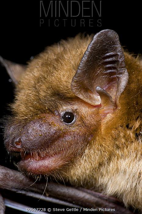 Little Brown Bat (Myotis lucifugus), Organization for Bat Conservation, Michigan