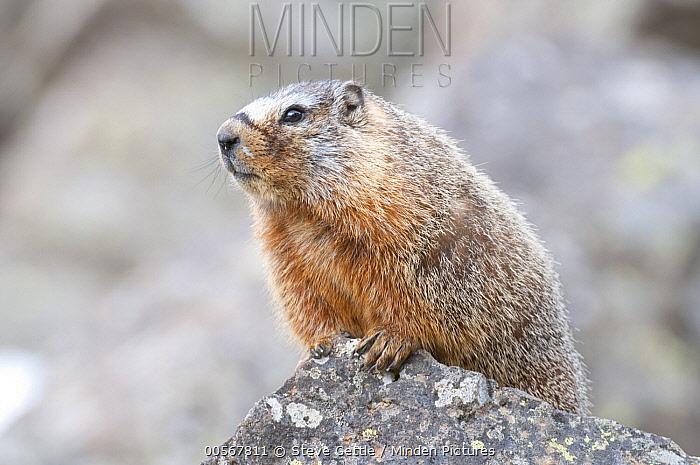 Yellow-bellied Marmot (Marmota flaviventris), Yellowstone National Park, Wyoming