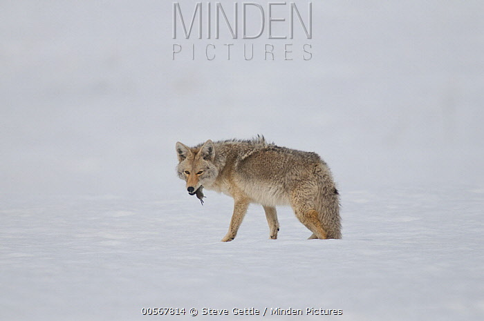 Coyote (Canis latrans) swallowing prey in winter, Yellowstone National Park, Wyoming