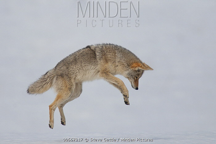 Coyote (Canis latrans) hunting in winter, Yellowstone National Park, Wyoming, sequence 3 of 5