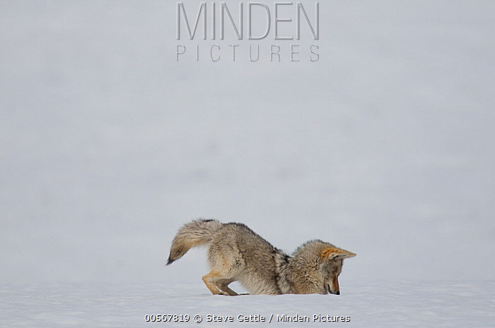 Coyote (Canis latrans) hunting in winter, Yellowstone National Park, Wyoming, sequence 5 of 5