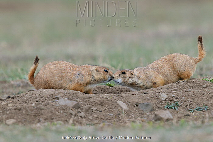 Minden pictures stock photos black tailed prairie dog cynomys black tailed prairie dog cynomys ludovicianus pair greeting each other wyoming m4hsunfo