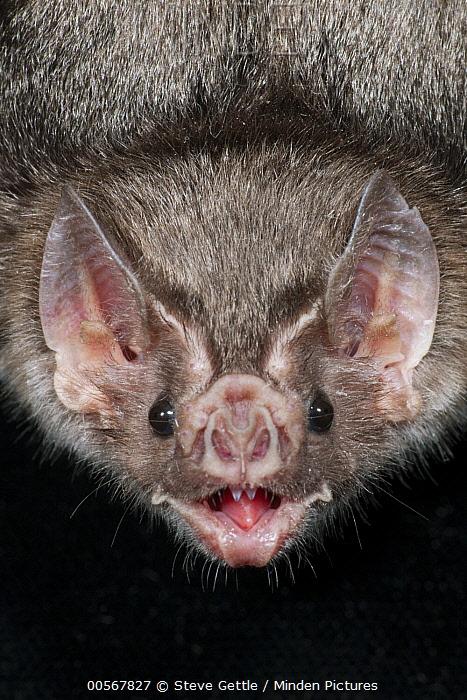 Jamaican Fruit-eating Bat (Artibeus jamaicensis) calling, Organization for Bat Conservation, Michigan