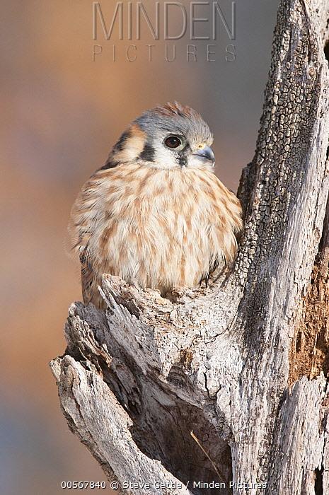 American Kestrel (Falco sparverius) female, Howell Nature Center, Michigan