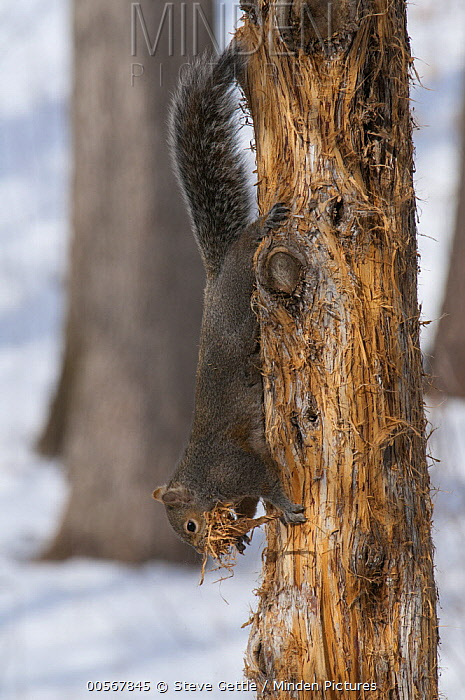 Eastern Fox Squirrel (Sciurus niger) collecting nesting material, Huron Meadows Metropark, Michigan