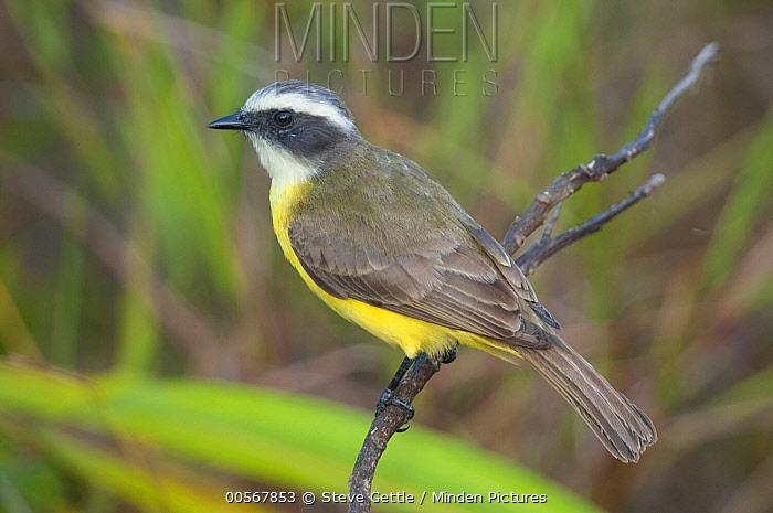 Social Flycatcher (Myiozetetes similis), Belize