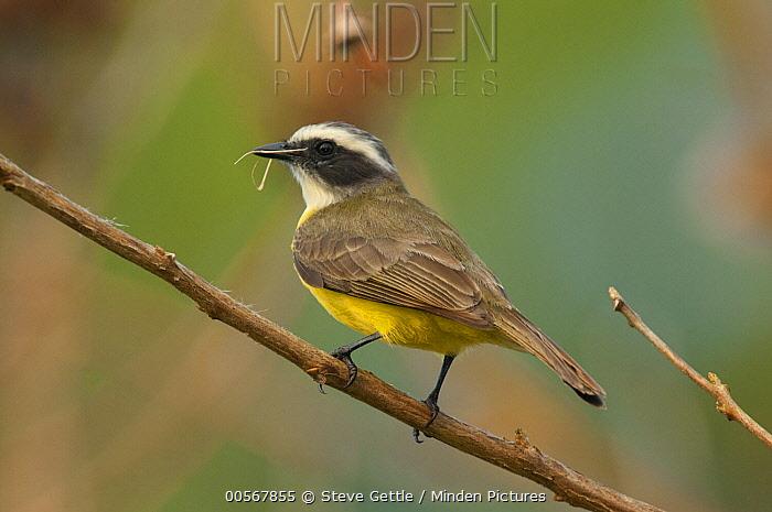 Social Flycatcher (Myiozetetes similis) swallowing insect, Belize
