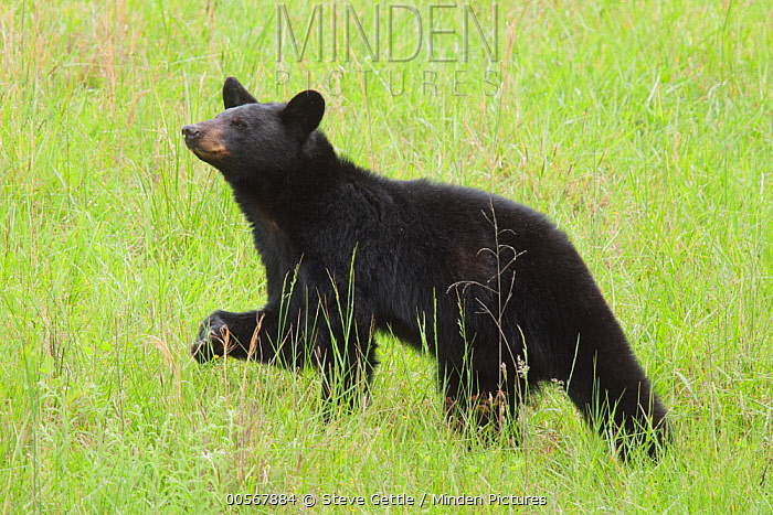 Black Bear (Ursus americanus), Great Smoky Mountains National Park, North Carolina