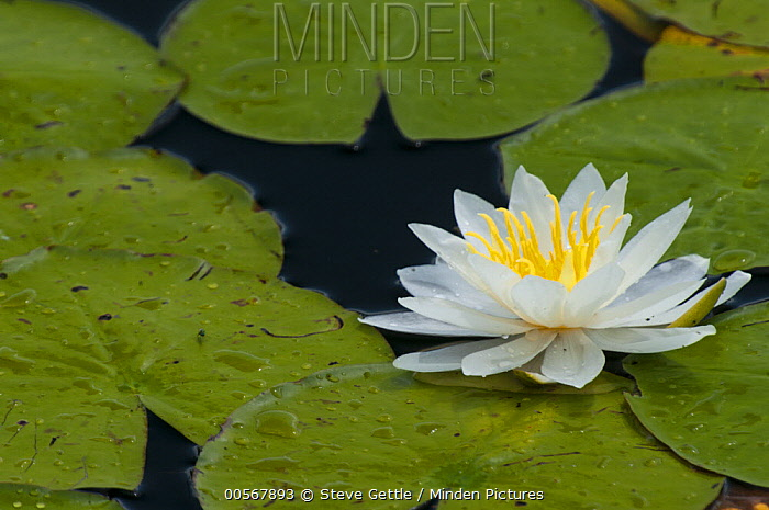 Fragrant Water Lily (Nymphaea odorata) flower, northern Michigan