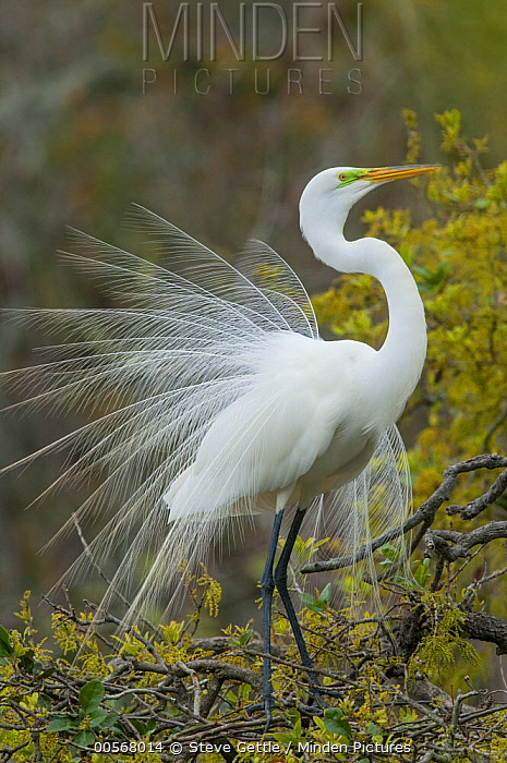 Great Egret (Ardea alba) in courtship display, North America