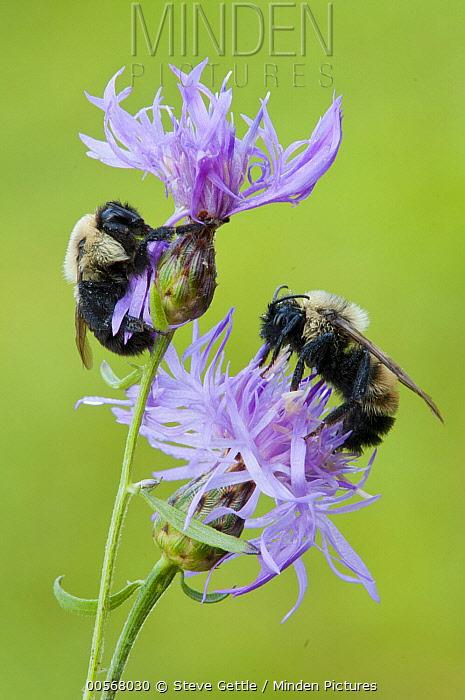 Brown-belted Bumblebee (Bombus griseocollis) and Lemon Cuckoo Bumblebee (Bombus citrinus) feeding on flower nectar, Howell Nature Center, Michigan