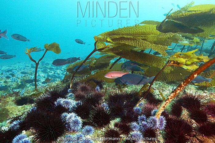 Red Sea Urchin (Strongylocentrotus franciscanus) and Purple Sea Urchin (Strongylocentrotus purpuratus) feeding on Southern Sea Palm (Eisenia arborea) creating urchin barren, Santa Cruz Island, Channel Islands, California