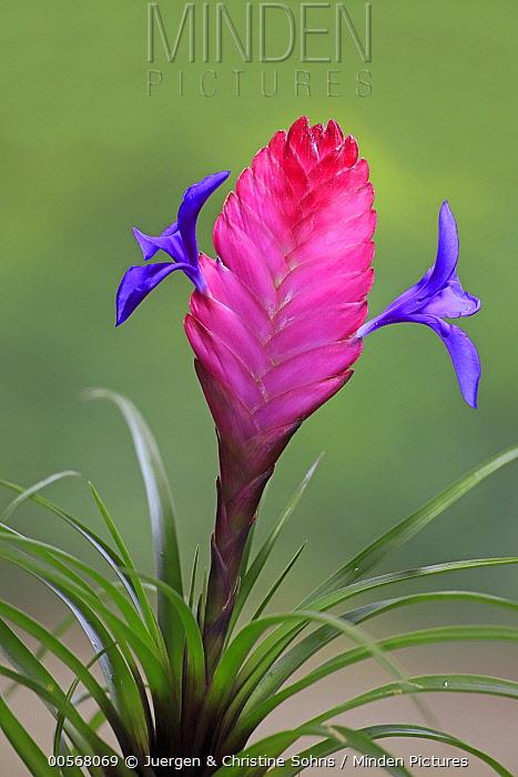 Airplant (Tillandsia cyanea) flowers, Germany