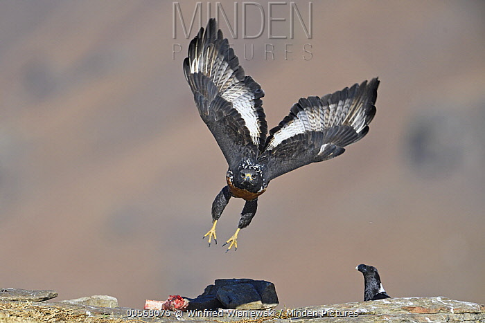 Augur Buzzard (Buteo rufofuscus) flying at feeding station, Giant's Castle National Park, South Africa