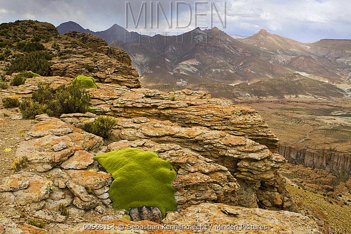 Yareta (Azorella compacta) cushion plants growing in rocks, Abra Granada, Andes, northwestern Argentina