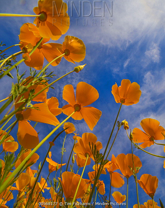 California Poppy (Eschscholzia californica) flowers in spring bloom, Lake Elsinore, California