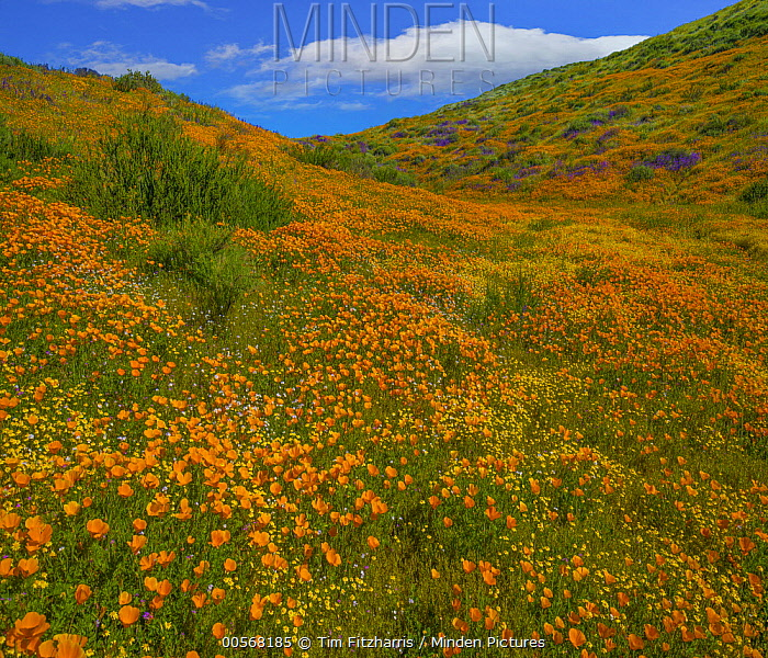 California Poppy (Eschscholzia californica) flowers in spring bloom, Diamond Valley Lake, California