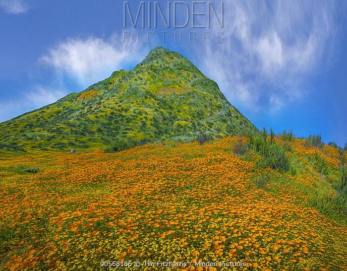 California Poppy (Eschscholzia californica) flowers in spring bloom, Diamond Valley Lake, California