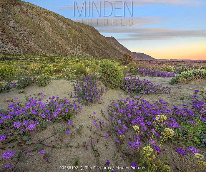 Desert Sand Verbena (Abronia villosa) flowers in spring bloom, Anza-Borrego Desert State Park, California