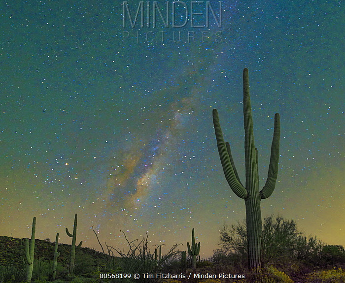 Saguaro (Carnegiea gigantea) cacti at night with milky way, Organ Pipe Cactus National Monument, Arizona