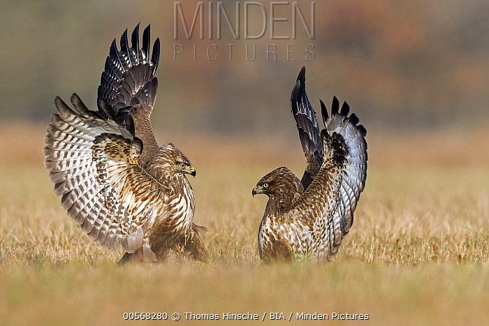 Common Buzzard (Buteo buteo) pair fighting, Saxony-Anhalt, Germany