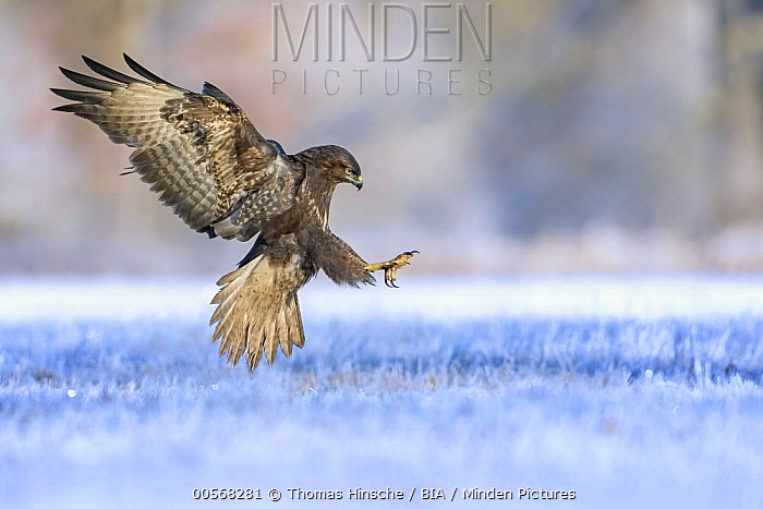 Common Buzzard (Buteo buteo) landing, Saxony-Anhalt, Germany