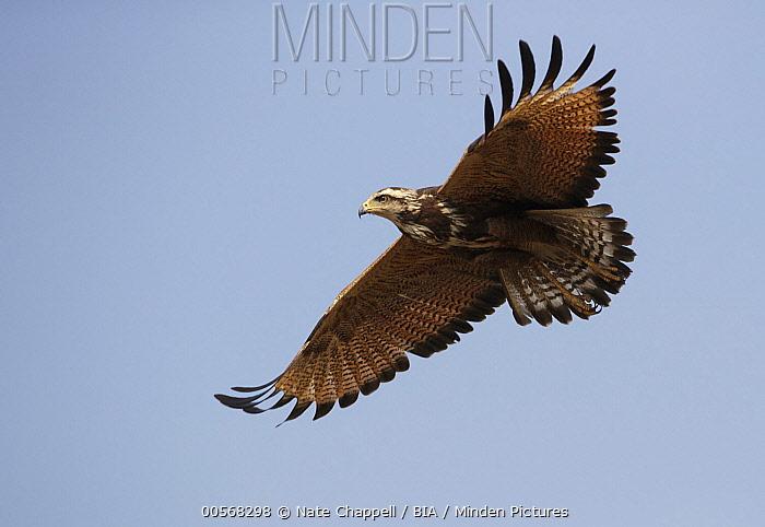 Savannah Hawk (Buteogallus meridionalis) juvenile flying, Pantanal, Brazil