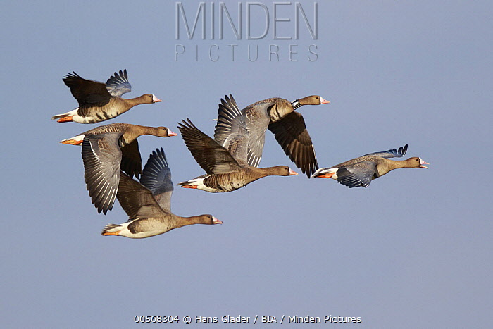 White-fronted Goose (Anser albifrons) group flying, North Rhine-Westphalia, Germany