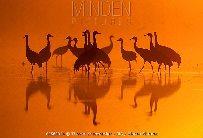 Common Crane (Grus grus) flock at sunrise, Brandenburg, Germany
