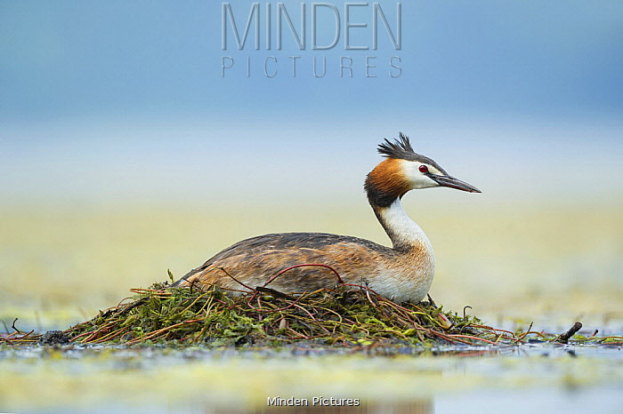 Great Crested Grebe (Podiceps cristatus) on floating nest, Piedmont, Italy