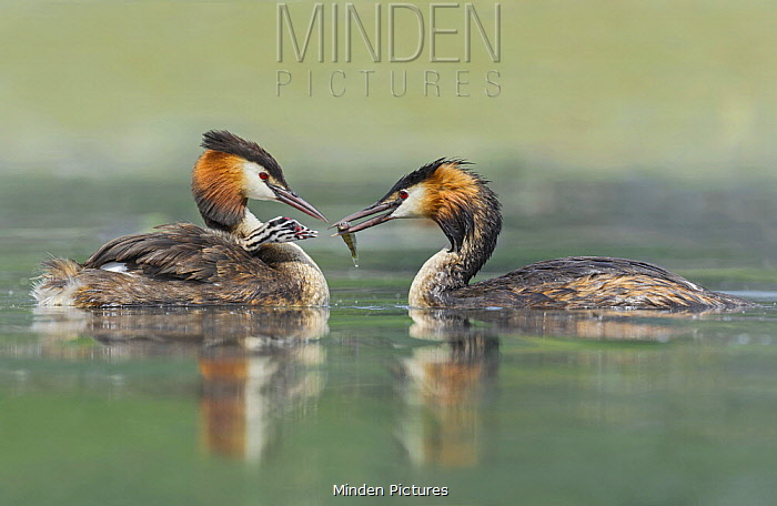 Great Crested Grebe (Podiceps cristatus) pair feeding chick, Piedmont, Italy