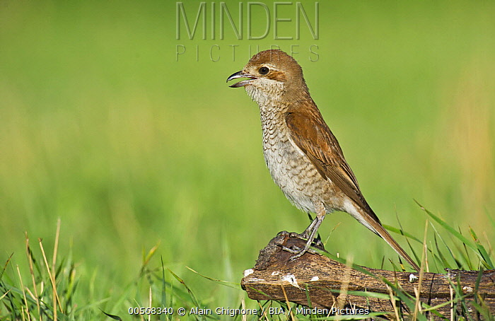 Red-backed Shrike (Lanius collurio) female calling, Aosta Valley, Italy