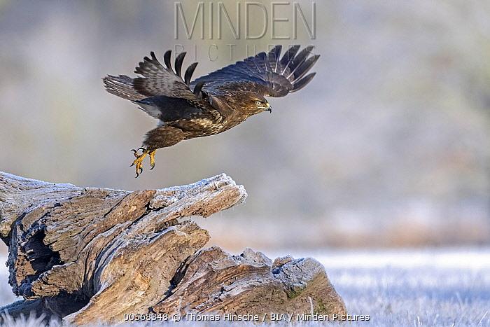 Common Buzzard (Buteo buteo) taking flight, Saxony-Anhalt, Germany