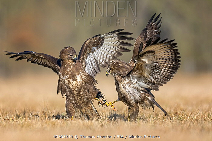 Common Buzzard (Buteo buteo) pair fighting, Saxony-Anhalt, Germany