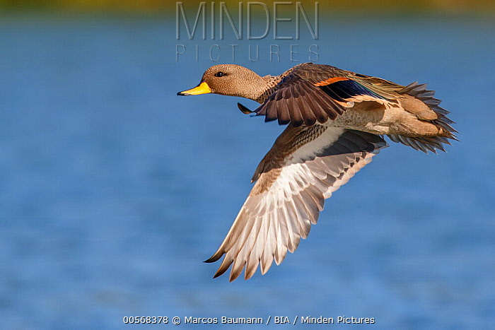 Speckled Teal (Anas flavirostris) flying, Valparaiso, Chile
