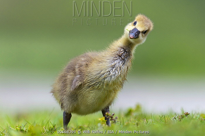 Greylag Goose (Anser anser) chick, Lower Saxony, Germany