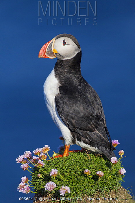 Atlantic Puffin (Fratercula arctica), Iceland