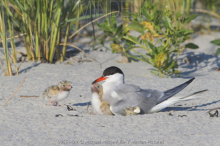 Common Tern (Sterna hirundo) parent on nest with chicks on beach, Massachusetts