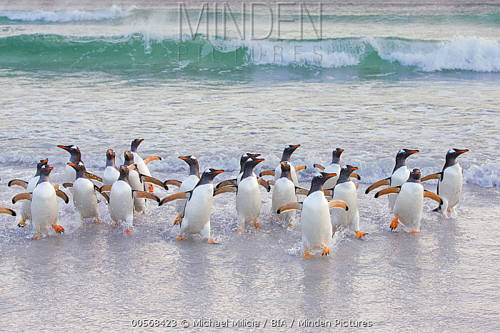 Gentoo Penguin (Pygoscelis papua) group coming ashore, Sea Lion Island, Falkland Islands